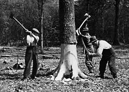 Old picture of men felling a tree