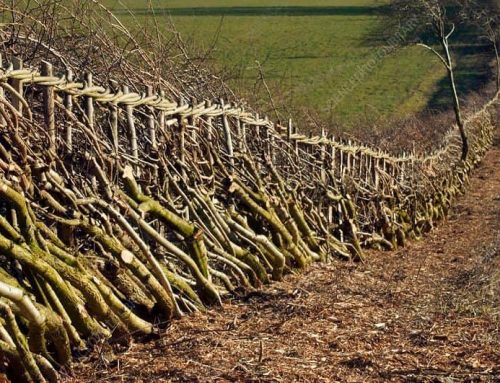 Article: HEDGELAYING AND COPPICING