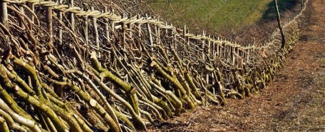 Hedgelaying and Coppicing