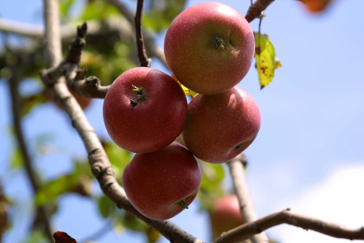 Apple pruning course Sussex and Surrey Coppice Group
