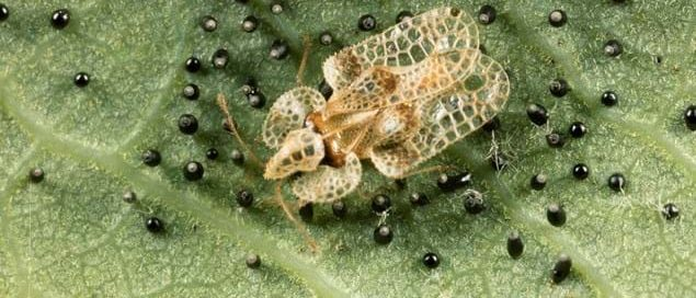 Oak Lace Bug SSCG