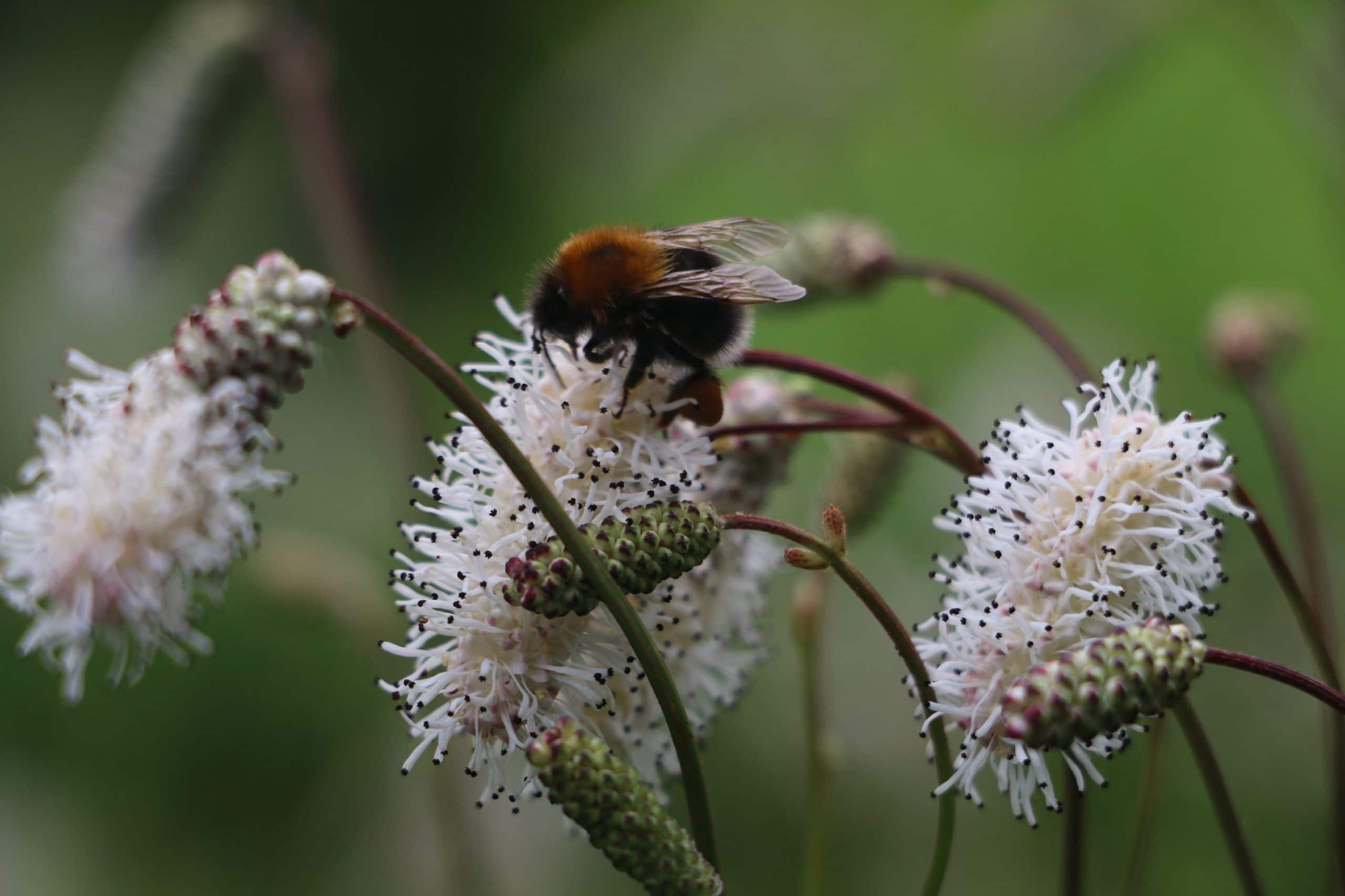 Bees in decline Sussex and Surrey Coppice group
