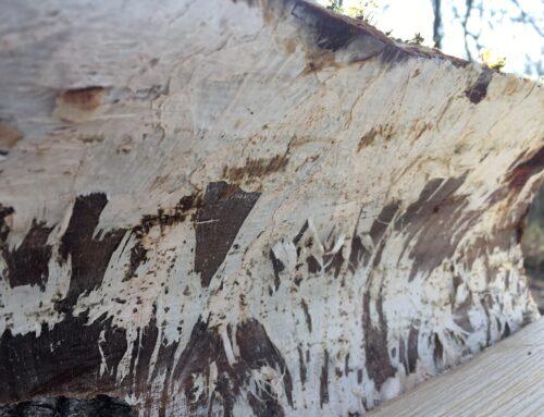 Ash dieback honeycomb effect