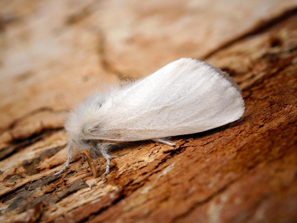 Brown-tail moth